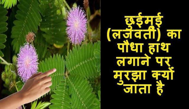 छुईमुई (लजवंती) का पौधा हाथ लगाने पर मुरझा क्योंं जाता हैै - laajavantee ka paudha haath lagaane par murajha kyon jaata hai