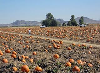 Arizona pumpkin patches find pick your own pumpkins.