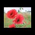 Anh túc đỏ ( Corn Poppy ) - Papaver rhoeas,PAP00117