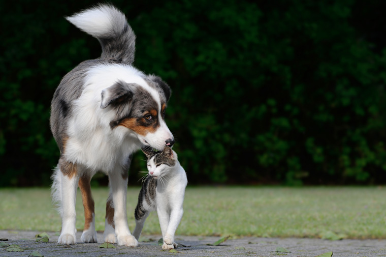 Finding out if dogs like cats or not, like this Australian Shepherd greeting a cat