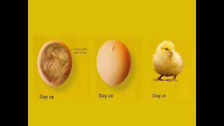 embrio ayam usia 19-21 hari dalam mesin tetas