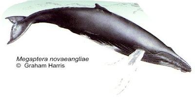 Ballena jorobada Megaptera novaengliae
