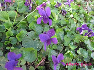 violette della primavera