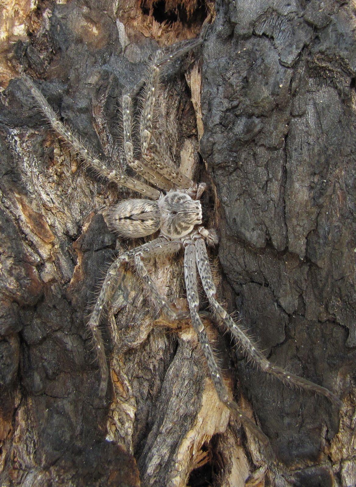 Bug Eric  Spider Sunda...