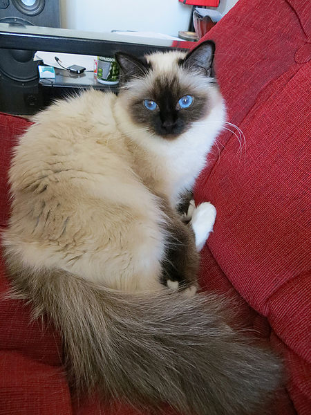 birmanese cats pictures birman breeds kittens photography nice cute cats images wikimedia commons wikipedia cats breeds photos burma cats