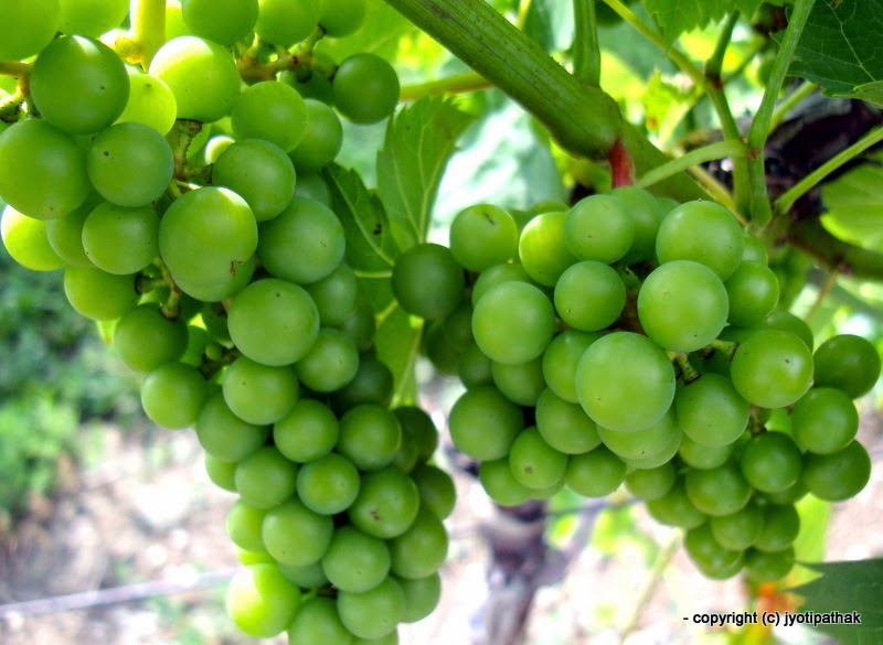 Taste Of Nepal: Glossary Of Common Fruits Of Nepal