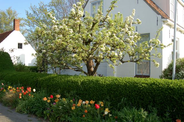 pear blossom, tulips