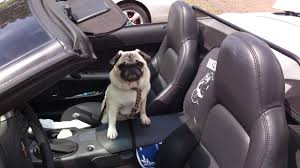 Taking Your Pet to the Car Show