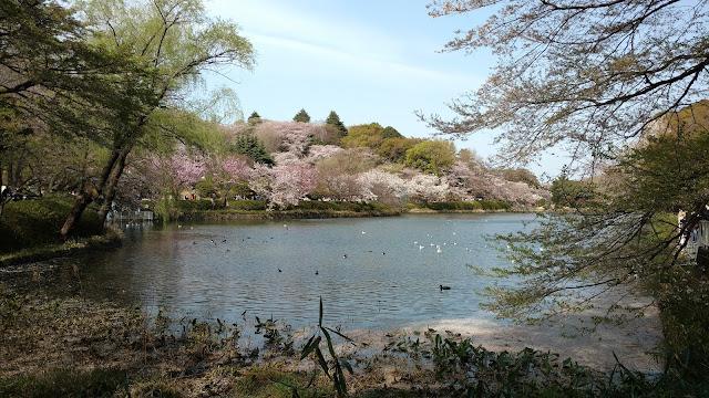 Mitsuike Park sakura