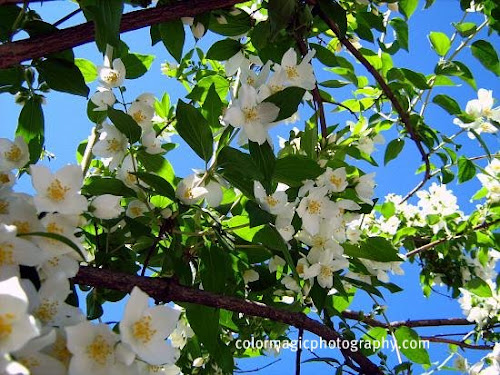 Mock orange-Philadelphus coronarius
