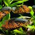 Trik Membentuk Corak dan Mencerahkan Warna Ikan Oscar