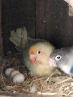 Berapa Lama Lovebird Bertelur Setelah Membuat Sarang