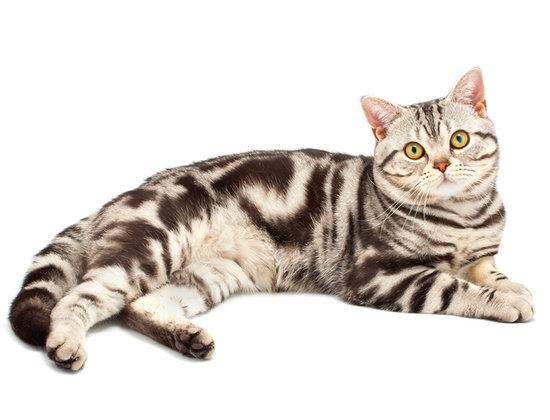 Kucing American Shorthair