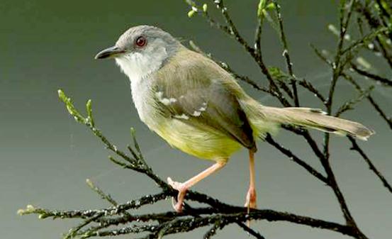 Download Suara Burung Ciblek Masteran Ngebren Panjang Mp3