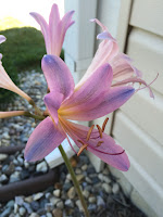 Lycoris squamigera - Resurrection lily aka surprise lily aka magic lily aka naked lady