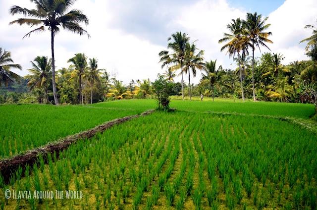 campos arroz gunung kawi bali