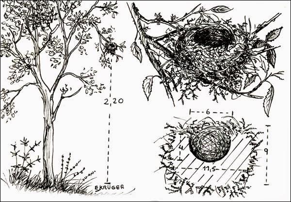 nidos de Monterita