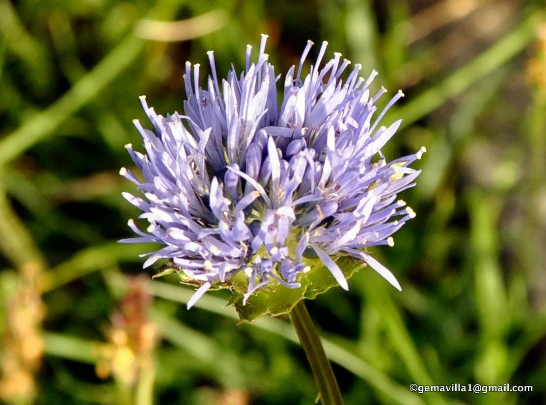 De Flores En La Montana: BOTÓN AZUL – Jasione Montana