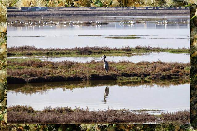 Bay Area Birding: Heron at Alviso