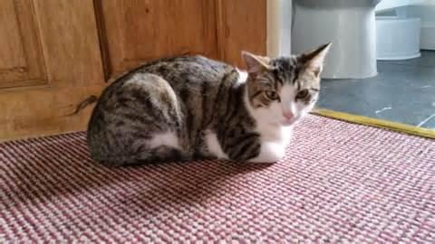 Kucing Betina