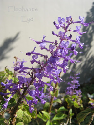 Plectranthus ecklonii flower