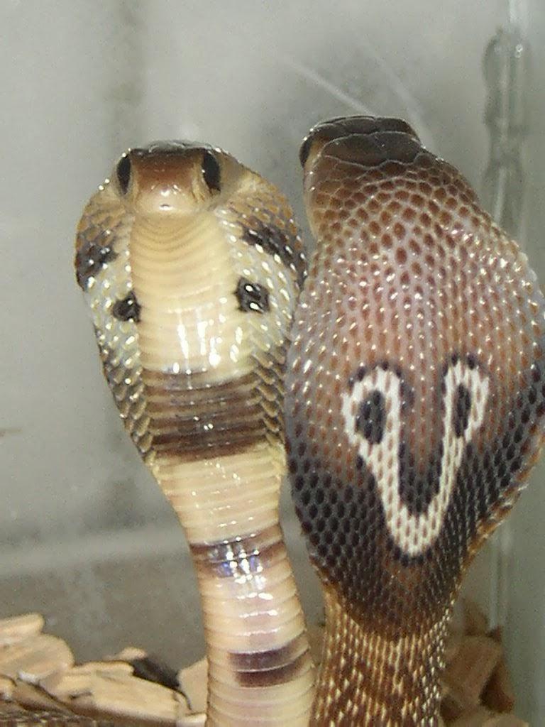Por que a cobra naja é proibida no Brasil?   Petlove