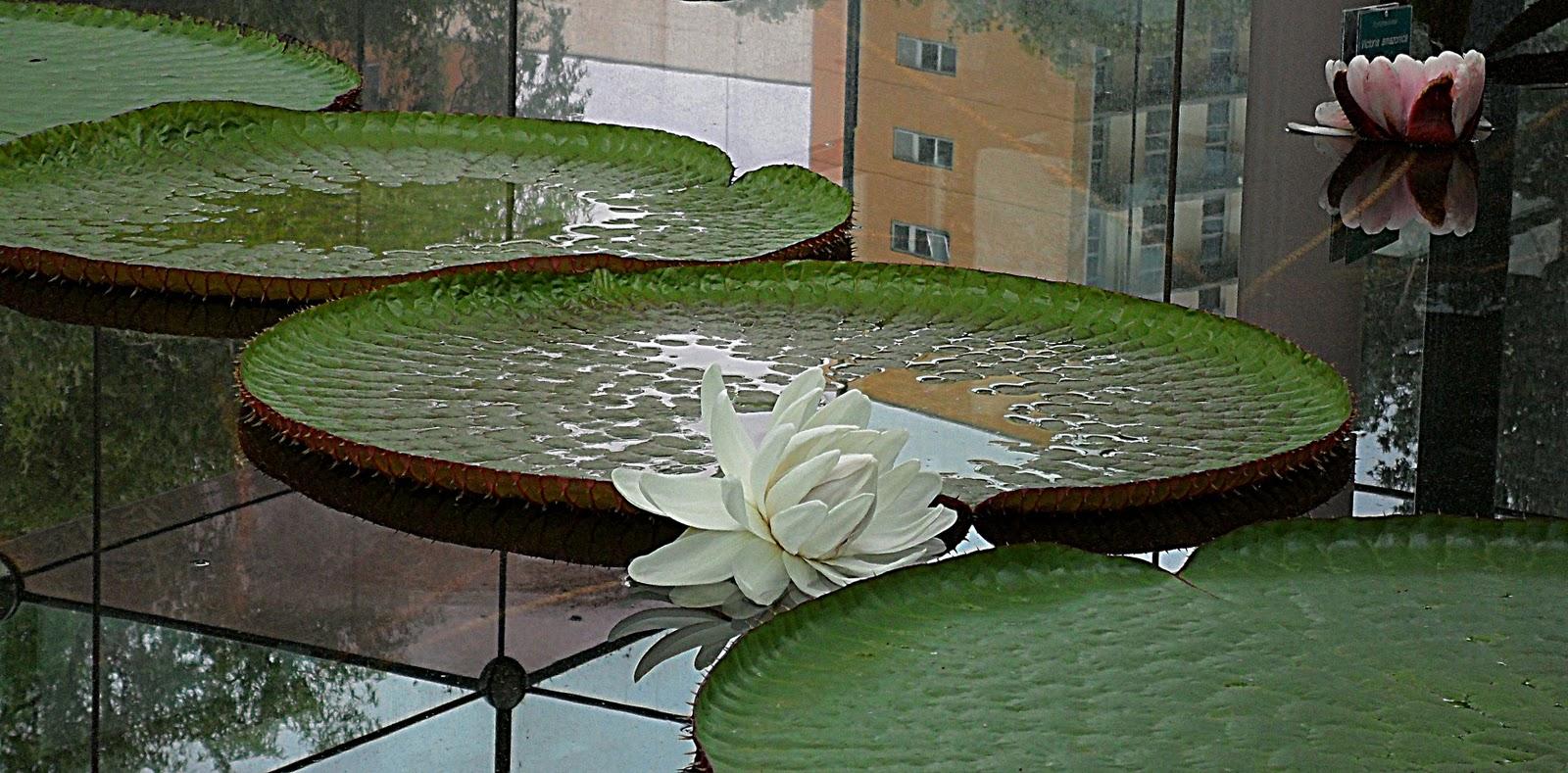 http://3.bp.blogspot.com/-zHb5QIH7vLs/TvqE-FMHqYI/AAAAAAAAAQM/p13w5W4qA8k/s1600/20111211_19.JPG Giant Amazon Water Lily