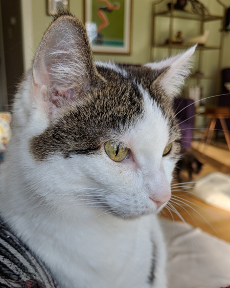 image of Olivia the White Farm Cat, in 3/4 profile, as she's sitting on my lap