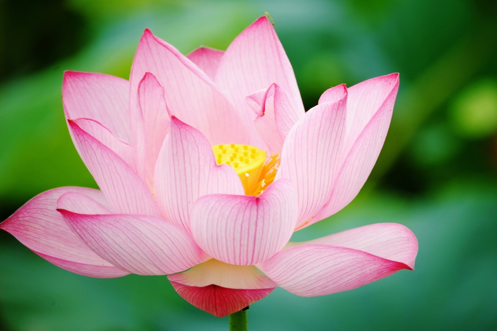 Lotus Flower HD wallpapers | HD Wallpapers (High ...
