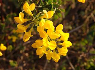 Coronilla (Coronilla glauca)
