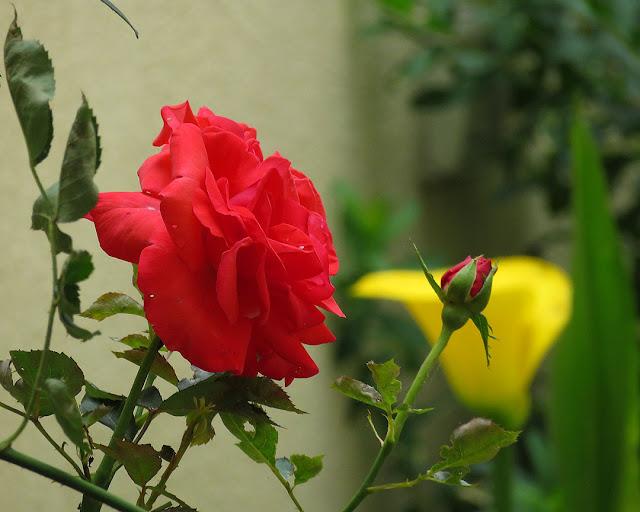 Mid-June roses, Via Pio Alberto Del Corona, Livorno