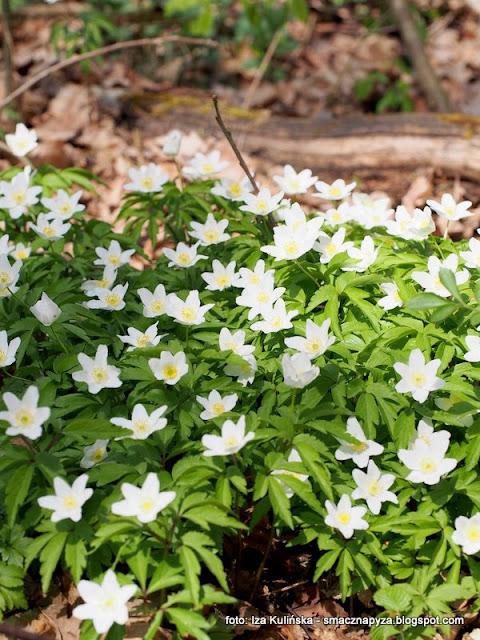 zawilce, kwiaty wiosenne, wiosna, las, w lesie, wycieczka, kwiatki