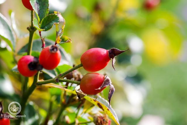 Hagebutten im Herbst, Das große Ulmer Rosenbuch - alles Wissenswerte zum Thema Rosen - Gartenblog Topfgartenwelt