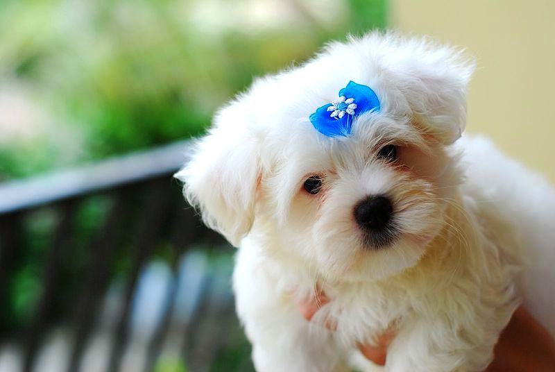 Very Cute Maltese Puppy Pictures | Cute Puppy Images Pictures