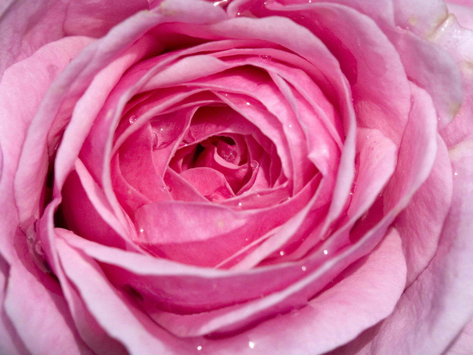 Beautifull Flowers 2011: Pink Rose Background