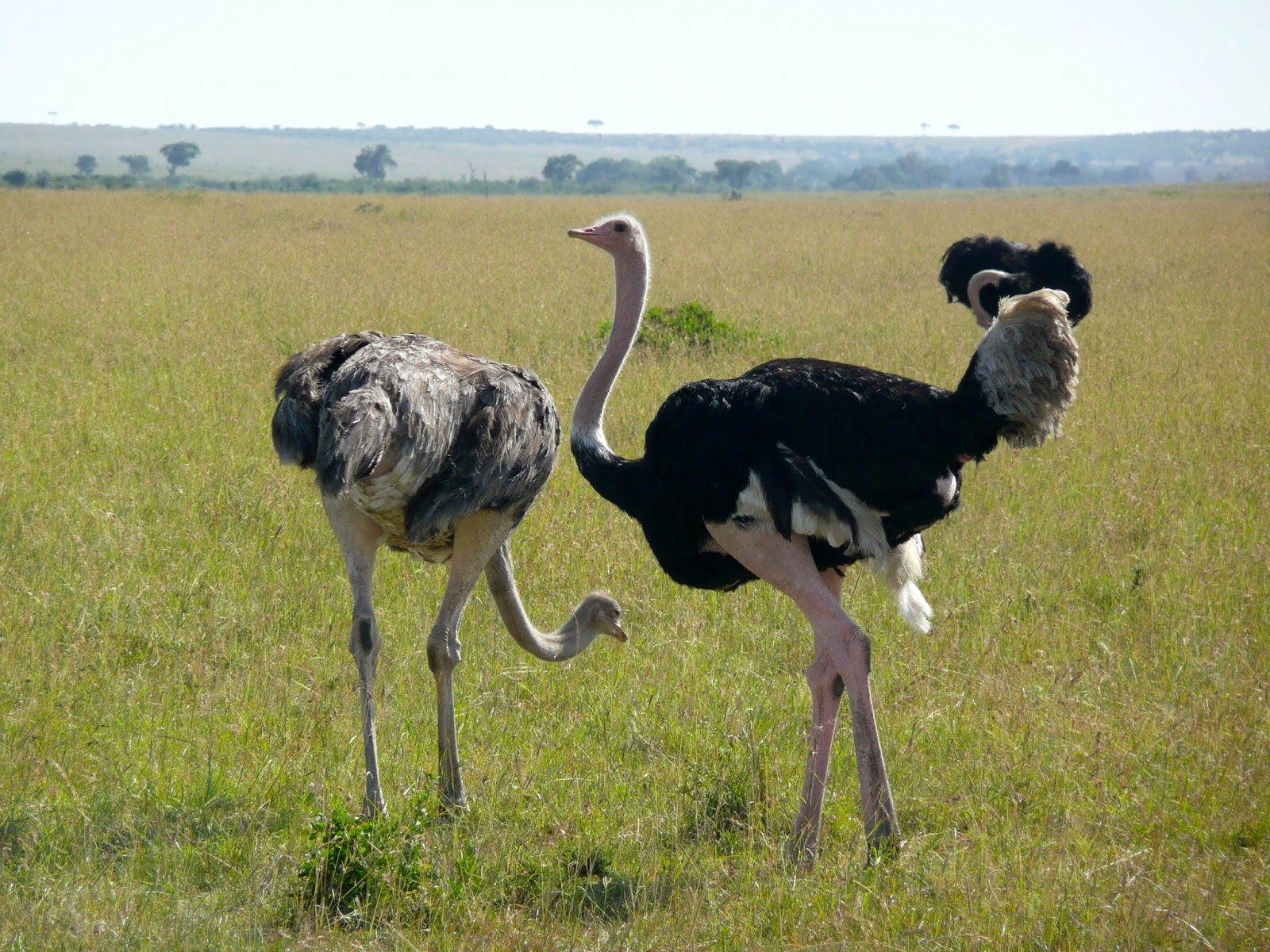Male ostrich courting dance near a female.