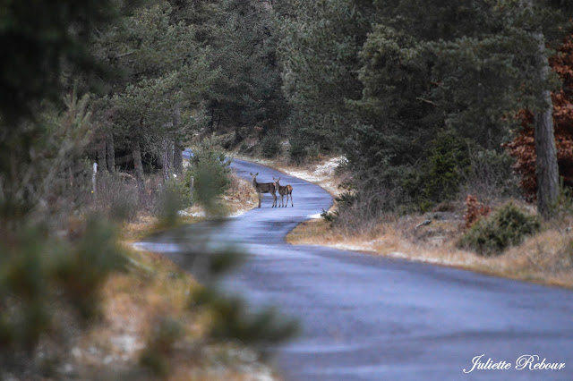Biche et son faon dans les forêts d'Auvergne