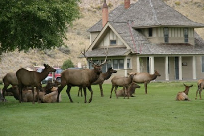 Elk Mammoth Hot Springs Yellowstone National Park