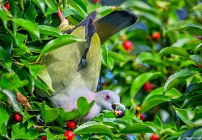 http://tipspetani.blogspot.com/2016/11/burung-merpati-yang-berbulu-indah.html