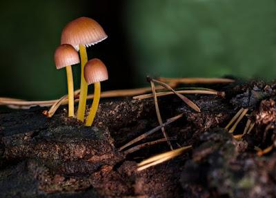 Inilah Bahaya Dari Jamur Kotoran Sapi