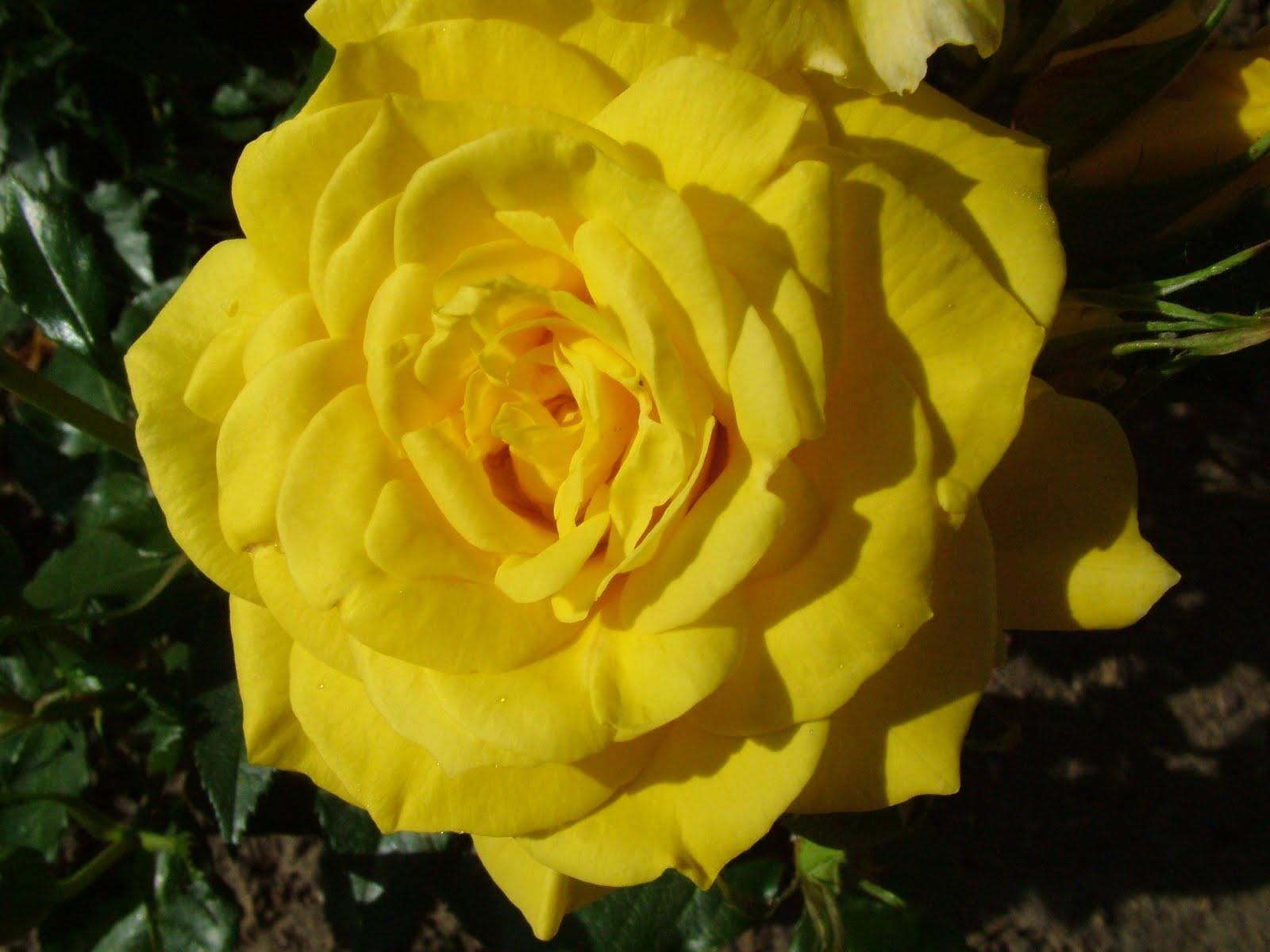 Flower photos august 2011 - Big rose flower wallpaper ...