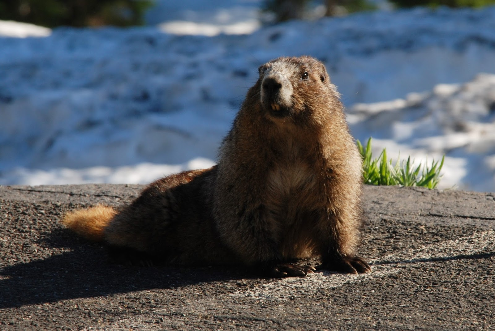 Picture of an alpine marmot rodent.
