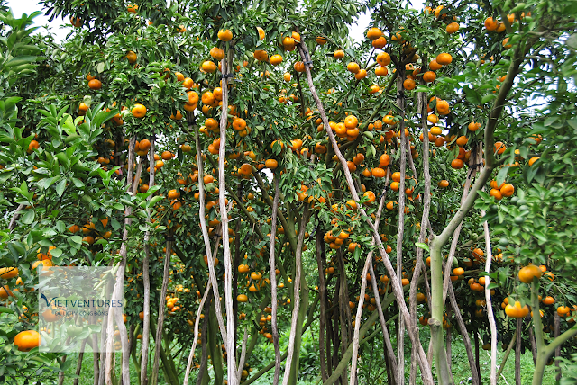 Lai Vung tangerine farm welcome Tet holiday