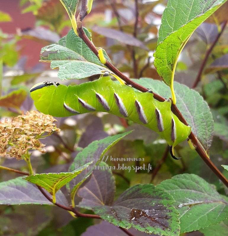 syreenikiitäjä toukka perhonen