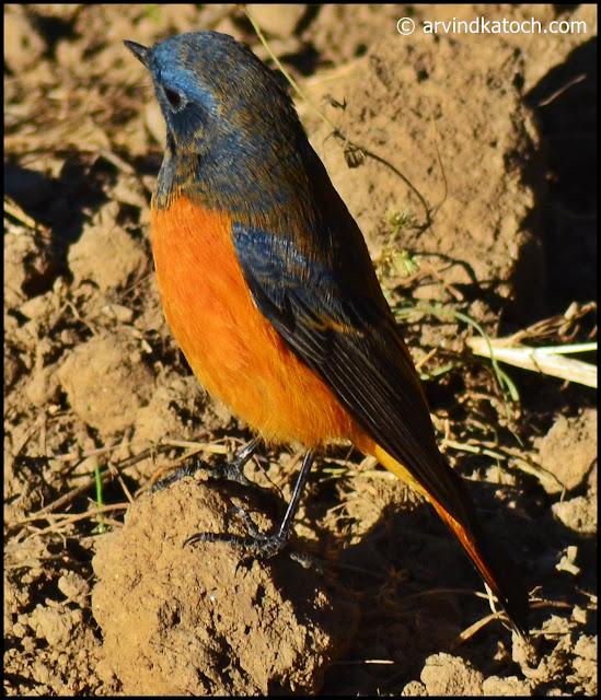 Blue-fronted Redstart, Redstart,