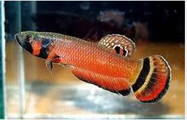 Jenis Ikan Cupang Cantik Banget