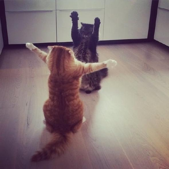 Два смешных кота встретились