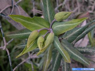 Euphorbe épurge - Herbe à taupes - Euphorbia lathyris
