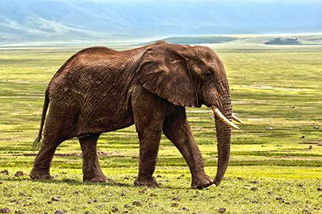 Essay on Elephant for Kids and School Students - 10 Lines