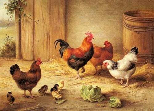 Ahırdaki tavuklar